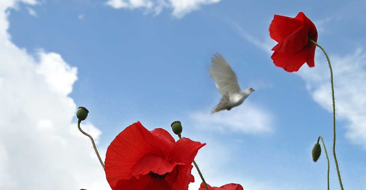 Image of a field of poppies and a white dove